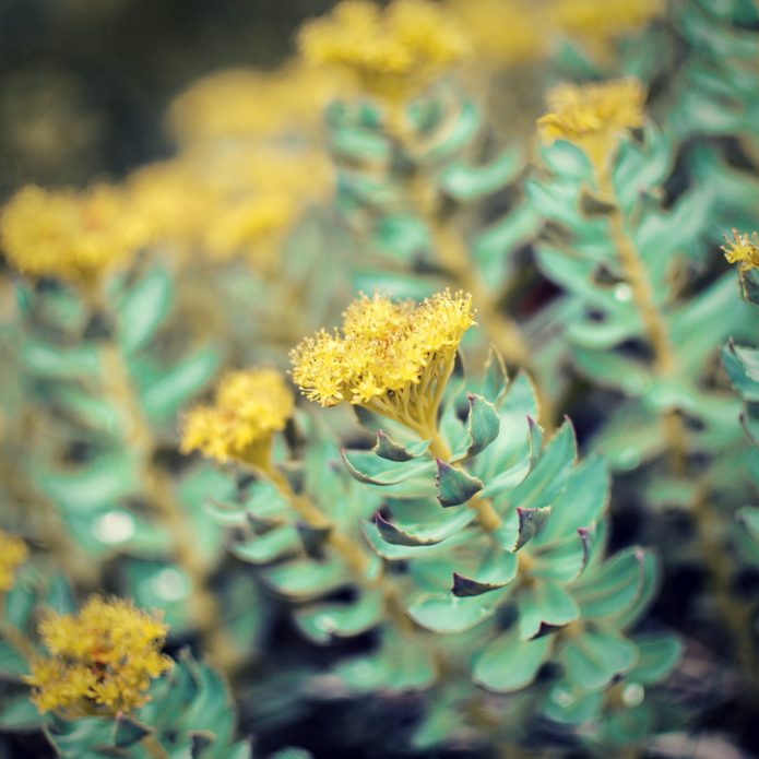 adaptogenic herbs for hormone balance - Rhodiola rosa